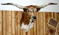 Texas Longhorn Head Mount Taxidermy Speckled Face P_037_s