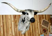 Texas Longhorn Black Roan Taxidermy Head Mount P_040_s