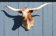 Texas Longhorn Orange Roan Taxidermy Head Mount R_391_s