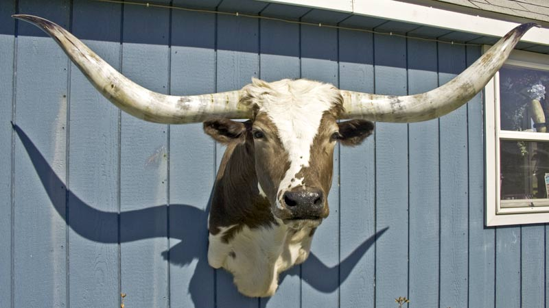 Texas Longhorn Head Mount - U_0979