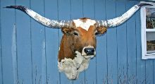 Texas Longhorn Taxidermy Head Mount W_0061_s