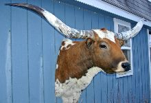 Longhorn Taxidermy Head Mount W_0062_s
