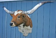 Texas Longhorn Taxidermy Head Mount W_0063_s