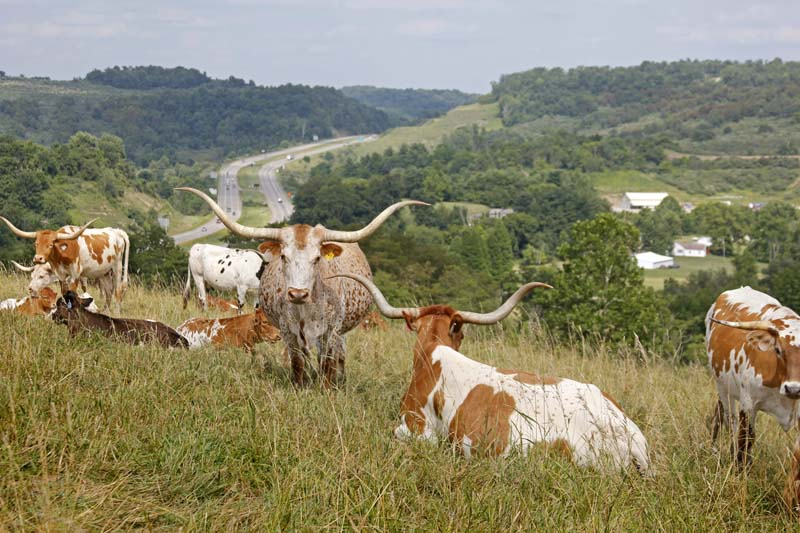 Longhorn Cows and Omega 3