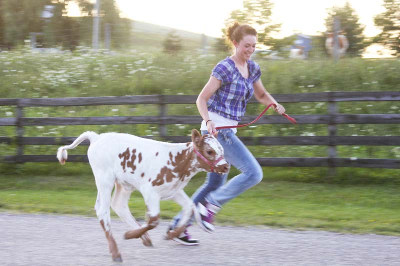 Girl running with baby calf