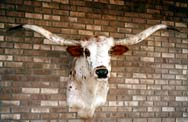 Texas Longhorn Taxidermy Head Mount with specks mount12_s
