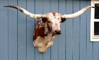 Very Wide Texas Longhorn Taxidermy Head Mount mount51_s