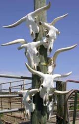 Texas Longhorn Skulls Sun Bleaching and Air Drying on Pole - p_817_m