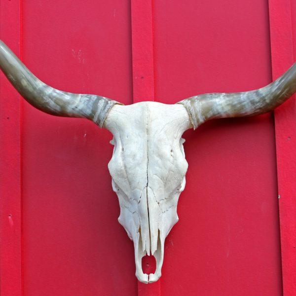 Longhorn Cow Skull #d0445