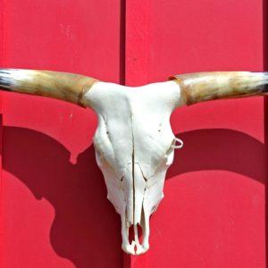 Longhorn Steer Skull #d0446