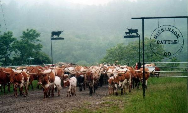 Cattle On Driveway