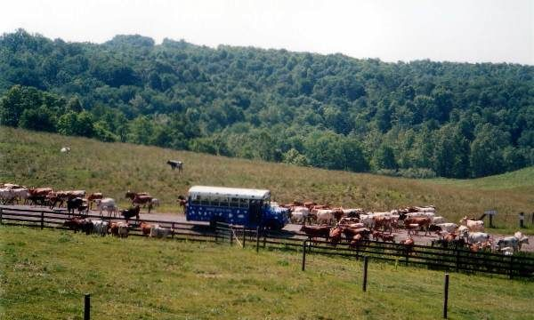 Bus in the cattle herd