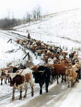 Cattle On Muskrat Rd in Winter