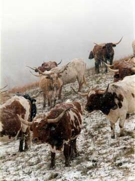 Longhorns In Winter on Hill